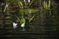 Июньские лилии