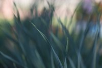 Стебельки чеснока на грядке в саду утром