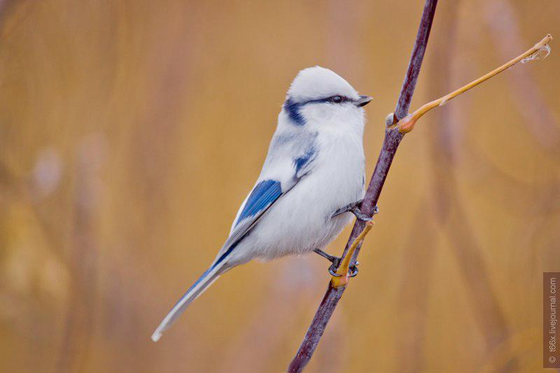 Белая лазоревка